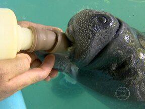 Saiba onde e como vivem os últimos peixes-bois da Amazônia - Ninguém sabe ao certo o tamanho da população de peixes-bois na Amazônia, apenas que eles estão espalhados por toda região. Em 38 anos de pesquisas, o laboratório de mamíferos aquáticos do INPA já realizou mais de 100 estudos com a espécie.