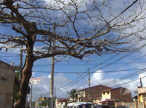 Pedaços de árvores secas e com cupim preocupam moradores de Mussurunga - Uma delas teve que ser escorada pelos próprios moradores.