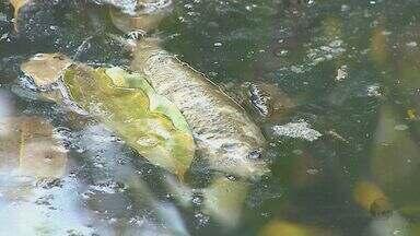 Polícia Militar Ambiental investiga a mortandade de peixes num córrego de Tambaú - Polícia Militar Ambiental investiga a mortandade de peixes num córrego de Tambaú