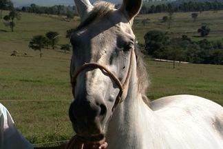 Cavalo deve ser alimentado com rapadura cerca de quatro horas antes da atividade física - O alimento gera energia para o animal, mas se ingerido pouco tempo antes da atividade pode prejudicar o desempenho do animal.