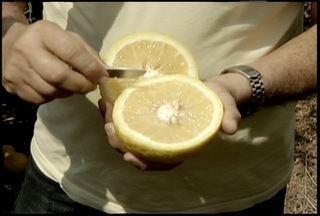 Tangerina desperta curiosidade, a fruta chega a pesar quase um quilo - A planta foi plantada por engano. Proprietário de fazenda, em Morro Alto, procura mercado para comercializar a fruta diferente.