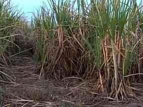 Tempo seco ajuda a colheita da cana-de-açúcar no Centro-Sul - Cerca de 68% da safra da cana-de-açúcar já foi colhida na região Centro-Sul do país. O tempo seca das últimas semanas ajudou a acelerar os trabalhos do campo.