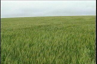 Temporal também causou estragos nas plantações da região - Em Boa Vista das Missões, lavouras inteiras de trigo e milho foram perdidas