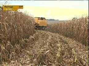 Produtores de milho estão satisfeitos com a safrinha - A falta de chuva ameaça a produtividade