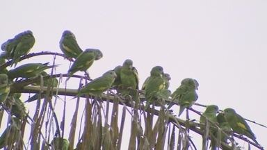 Periquitos de asa branca invadem avenida de Manaus - Periquitos de asa branca invadiram uma das principais avenidas de Manaus. Ao lado do barulho irritante do trânsito, o som dos pássaros chama a atenção de quem passa pelo local.