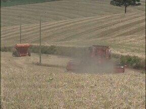 Chuva prejudica lavoura de trigo no sudoeste - Alguns produtores estão colhendo grãos verdes para não perder completamente a safra