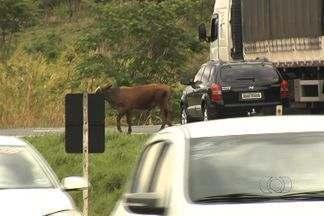 Vaca causa tumulto ao atravessar BR-153, em Goiás; veja imagens - Trânsito ficou arriscado, pois os carros passavam em alta velocidade. Caminhão chegou a parar em acostamento para não causar acidente.