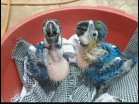 Polícia Ambiental flagra aves silvestres mantidas em cativeiro em Votuporanga, SP - A Polícia Ambiental flagrou aves silvestres mantidas num cativeiro em Votuporanga (SP). São filhotes de arara canindé e de papagaio. Os pássaros estavam na casa de uma aposentada. A mulher pode pegar de seis meses a um ano de prisão.