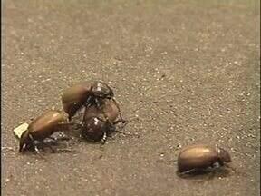 Infestação de besouros causa problemas para moradores de Paranavaí - Médicos do P.A. têm atendido pacientes com insetos dentro do ouvido. Veja como se prevenir do problema.