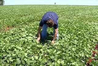 Técnicos estão confiantes na produção de soja em 2012 - Os técnicos e o Governo Federal estima que o valor da produção atinga quase R$ 300 bilhões.