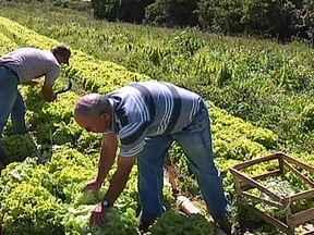 Instabilidade do tempo mexe com o preço da alface em São Paulo - Sem saber o que fazer os produtores da região de Piedade estão colhendo menos. Oscilação da temperatura fez com que as verduras estragassem. Produtores tiveram dificuldade para irrigar as lavouras por causa do longo período de estiagem.