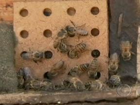 Seca prejudica produção de mel no Nordeste - O tempo seco vem prejudicando a produção de mel e para tentar minimizar o problema, apicultores de Tabira, no sertão de Pernambuco, adotam formas alternativas de manejo das colmeias.