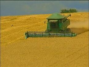 Colheita do trigo já começou em Muitos Capões, RS - Nesta safra, a expectativa é colher 48 mil toneladas.