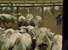 Engenheiro faz confinamento de gado de modo sustentável no oeste do estado - Ele largou a profissão para se tornar um dos maiores empresários de confinamento de gado do país.