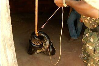 Polícia Ambiental resgata sucuri de 5,8 m e quase 100 quilos em Goiás - Animal estava em Itaguaçu, distrito de São Simão, no sudoeste do estado.Segundo pecuarista, cobra vinha matando animais da fazenda onde estava.