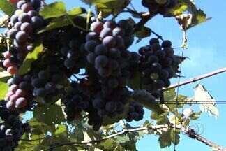 Produtor comemora safra da uva em Goiás em 2012 - O negócio deu tão certo que hoje o produtor vende a fruta e ainda usa parte da safra para fazer suco.