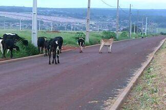 Circulação de vacas pelas ruas atrapalha o trânsito em cidades do interior de Goiás - Nos municípios do interior não é incomum ver vacas circulando por ruas da cidade. O problema é que esses animais acabam provocando transtornos para os moradores e perigo para os motoristas.