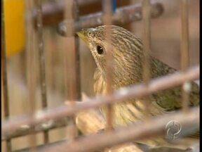 Pássaros silvestres são apreendidos na região de Maringá - A operação foi feita pela polícia ambiental