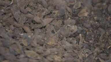 Reaproveitamento de resíduos do guaraná é alvo de pesquisa - Unir em um único projeto a possibilidade de reaproveitar os resíduos do guaraná e outras fibras e transformar em novos produtos. Este é o objetivo de uma pesquisa que está sendo realizada aqui no Amazonas.