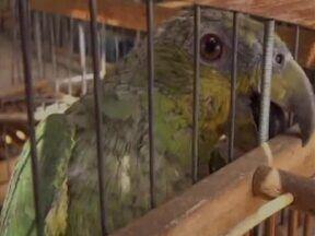 Ibama apreende cerca de 50 animais silvestres no Sul do Piauí - 15 espécies de pássaros foram encontradas, algumas em risco de extinção.