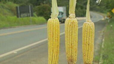 Com a safra do milho verde, comerciantes vendem produto nas rodovias da região - Com a safra do milho verde, comerciantes vendem produto nas rodovias da região