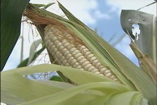 Safra de milho branco atrasa em Quadra, SP - A colheita do milho branco vai começar depois da data prevista devido ao clima. A produção no município, que tem tradição no cultivo, vem diminuindo