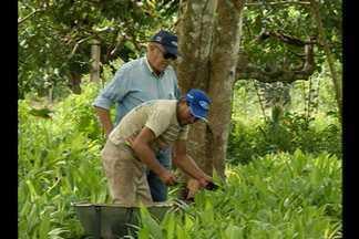 Conheça a história da pupunha, fruta típica do Pará - Alimento é nativo da região Amazônica, e bastante apreciado no estado. Atualmente, pupunheira é fonte de palmito diferente e rentável.