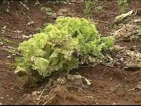 Chuva demais prejudica lavouras de hortaliças e eleva os preços ao consumidor - A oferta do produto diminuiu por conta das perdas causadas pela umidade e o preço chega a dobrar.