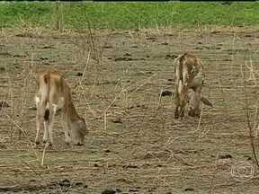 Chuva ainda não é suficiente para recuperar pastos no Ceará - No sul do estado, os animais ainda estão enfrentando dificuldades para encontrar alimento no campo. O gado tenta sobreviver comendo restos de mato seco.