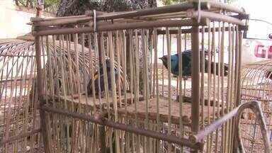 Policiais do Batalhão Ambiental apreendem pássaros vendidos em feiras - 54 aves de 11 espécies diferentes, estavam sendo vendidas em feiras no Jacintinho e na Levada.