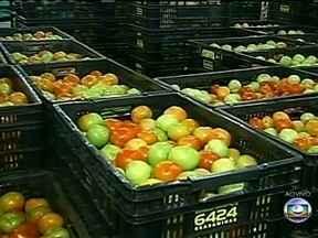 Preço do tomate agrada produtores rurais em MG - Os agricultores de Minas Gerais colhem a safra do tomate. E o resultado está agradando. Um dos fatores para tanta animação é o bom preço pago pelo fruto.