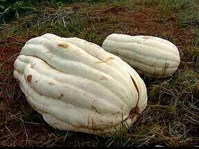 Instituto descobre abóbora de 47 quilos em Uberaba, MG - Fruto foi desenvolvido em um sistema diferente de plantio. Produto será destinado para a produção de doces.