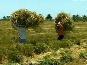 Agricultores comemoram boa safra de arroz em Neópolis (SE) - Agricultores do município de Neópolis, em Sergipe, comemoram a boa safra de arroz. A cada ano, o grão tem ganhado mais espaço na região.