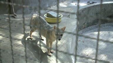 Conheça o funcionamento do Centro de Tratamento de Animais Silvestres - Os animais chegam ao local debilitados depois de serem apreendidos em operações do Batalhão Ambiental.