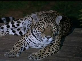 Projeto promove passeios noturnos no zoológico - Quando escurece, muitos animais saem da toca. Serpentes, jaguatiricas e gatos só dormem durante o dia. É preciso agendar a visita, por telefone.