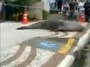 Leão-marinho atravessa avenida de Balneário Camboriú - Leão-marinho atravessa avenida de Balneário Camboriú