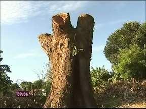 Jaqueira, que depois de cair voltou para o lugar, intriga moradores do interior de SP - A árvore tinha sido arrancada do chão com raiz e tudo por causa de um vendaval