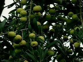 Começou a colheita da azeitona no Rio Grande do Sul - Começa a colheita de azeitona no Rio Grande do Sul. A cultura está em expansão e tem agricultor investindo pesado na fabricação de azeite para abastecer o mercado interno.