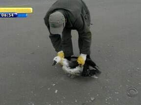 Dez albatrozes encontrados em Tavares devem ser liberados na costa gaúcha - Animais foram encontrados debilitados na Lagoa do Peixe.