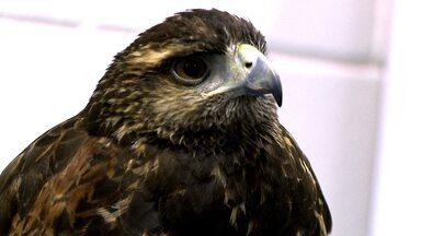 Equipe do Domingão Aventura dá detalhes sobre treinamento de falcões - Saiba mais sobre o assunto no vídeo exclusivo!