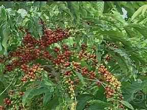 Produtores de café conilon de Rondônia esperam safra maior do que a do ano passado - Em Rondônia, começou a colheita do café conilon. A previsão é de uma safra maior do que a do ano passado e os produtores rurais estão otimistas.