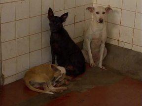 Cachorros com calazar podem ser tratados e viver bem, mesmo com doença - Cachorros com calazar podem ser tratados e viver bem, mesmo com doença