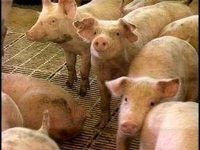O preço da carne suína diminuiu nos supermercados - Para os suinocultores a baixa não agrada.