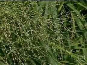 Agricultores esperam bom preço após cultivo de sementes forrageiras em Mato Grosso - Em Mato Grosso, quem apostou no cultivo de sementes forrageiras espera um bom preço. Agricultores de outros estados enfrentam problemas com a seca; e a oferta do produto é escassa.