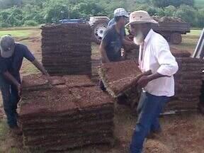 Você já viu como é o cultivo de uma 'grameira'? - O plantio é feito uma única vez e a produção exige muita mão-de-obra