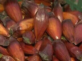 Na colheita de pinhão uma receita especial com a semente - Quibe com pinhão frito ou assado, de qualquer jeito o sabor é irresistível