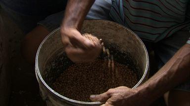Agricultores de Horizonte colhem segunda safra de feijão em 2013 - Mesmo com pouca chuva, agricultores garantiram boa safra.