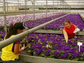 Comerciantes de flores de Holambra já se preparam para as vendas no Dia das Mães - Holambra é conhecida como a capital nacional das flores. O comércio do ramo já se movimenta para uma data muito especial: o Dia das Mães. Conheça os bastidores deste mercado.