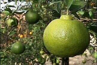 Agricultores colhem safra de tangerina em Capela do Alto, SP - Qualidade da fruta é considerada boa e produtores estão otimistas. Maio marca o pico da safra da tangerina