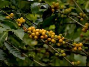 Novo preço mínimo do café não agradou cafeicultores e entidade do setor em Araxá, MG - Ministério da Agricultura fixou em R$ 307, a saca de 60 quilos, valor abaixo do que era esperado para amenizar a crise neste segmento.